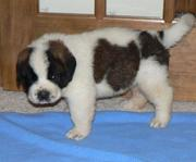 AKC registered Saint Bernard Puppies available for re-homing now
