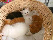 Pedigree Ragamuffin kittens Ready,  beautiful..