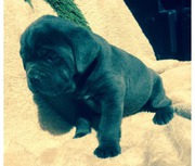Cane Corso Puppies(BLUE, SOLID BLACK)