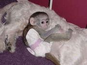 Adorable Capuchin monkeys for adoption