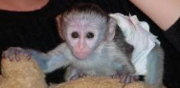 available lovely and well tamed capuchin monkey