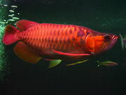 Arowana Fishes of all kinds and sizes for sale